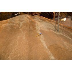 Измерение температуры зерна пшеницы на складе